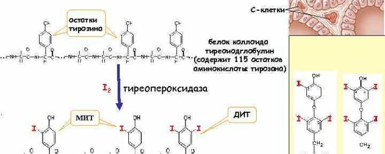 Тиреопероксидаза: антитела повышены — что это значит