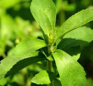 Стевия: польза и вред, отзывы о лечебных свойствах, противопоказания