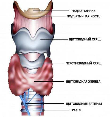 Щитовидная железа строение и функции