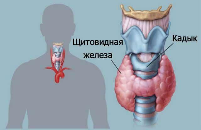 Щитовидная железа фото