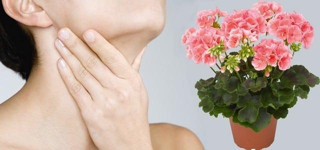 Лечение геранью щитовидной железы
