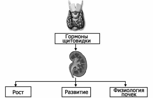 Заболевания почек и гипотиреоз