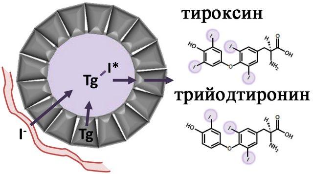 Синтез тироксина и трийодтиронина с помощью тиреоглобулина