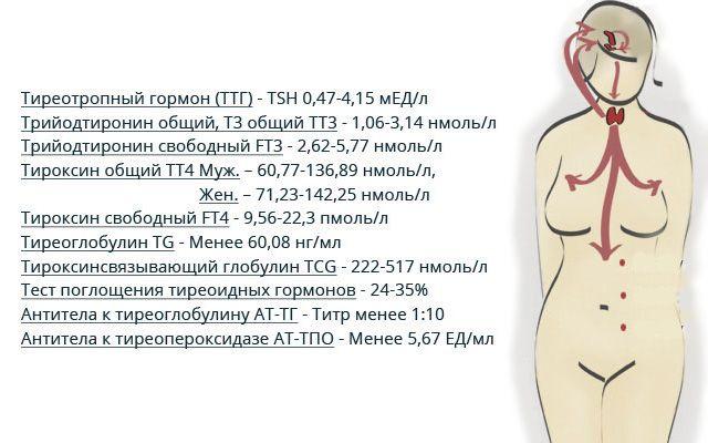 Норма гормонов щитовидной железы у женщин