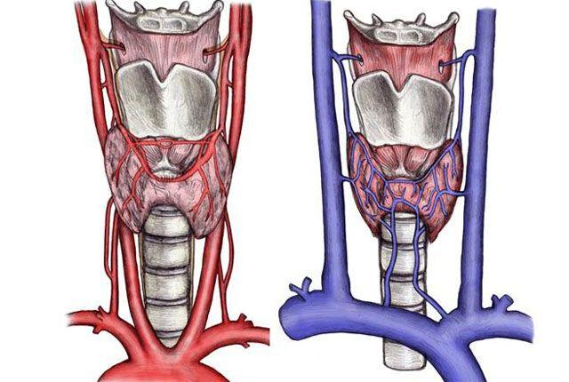 Вены и артерии щитовидки