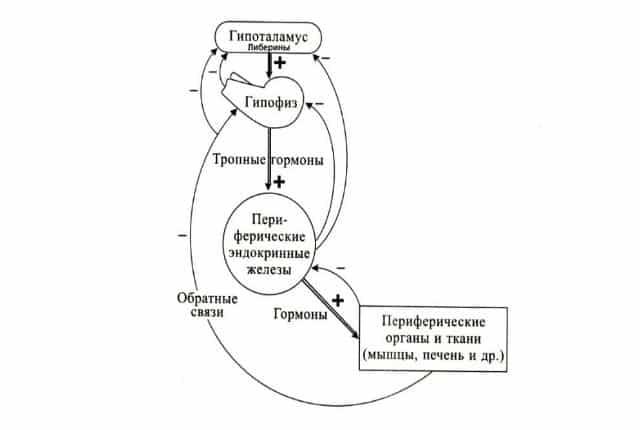 Тиреотропный гормон что это такое у женщин