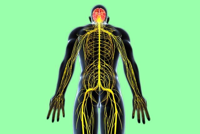 Тироксин влияет на процессы в центральной нервной системе
