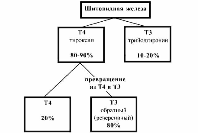 Тироциты вырабатывают 2 типа гормонов Т3 и Т4