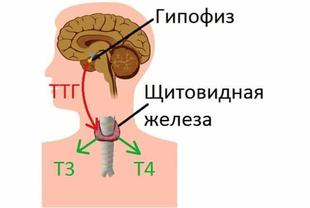 Синтез и функции гормонов щитовидной железы